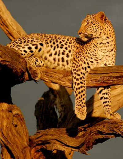 enjoy-life-vacations-adventure-travel-leopards